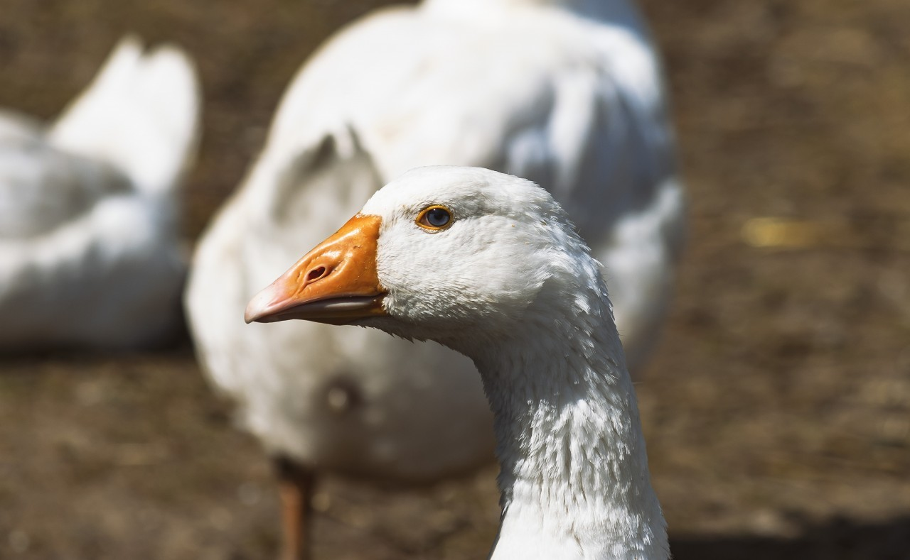 portrait of a white goose