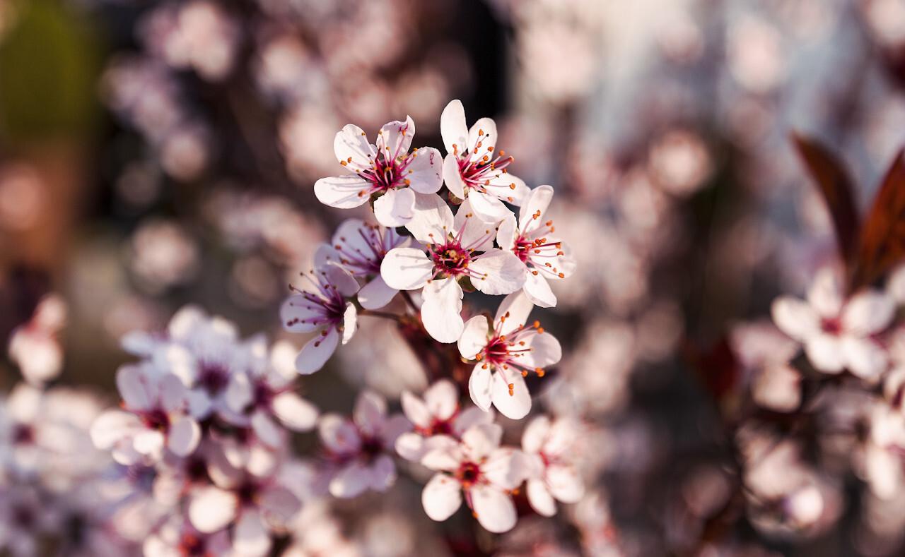 japanese cherry spring blossom
