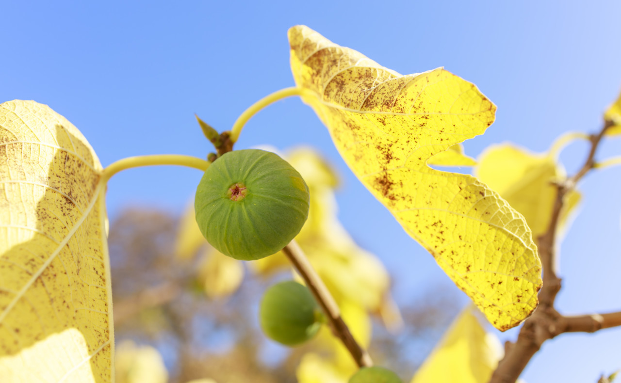 Green figs on the tree in autumn