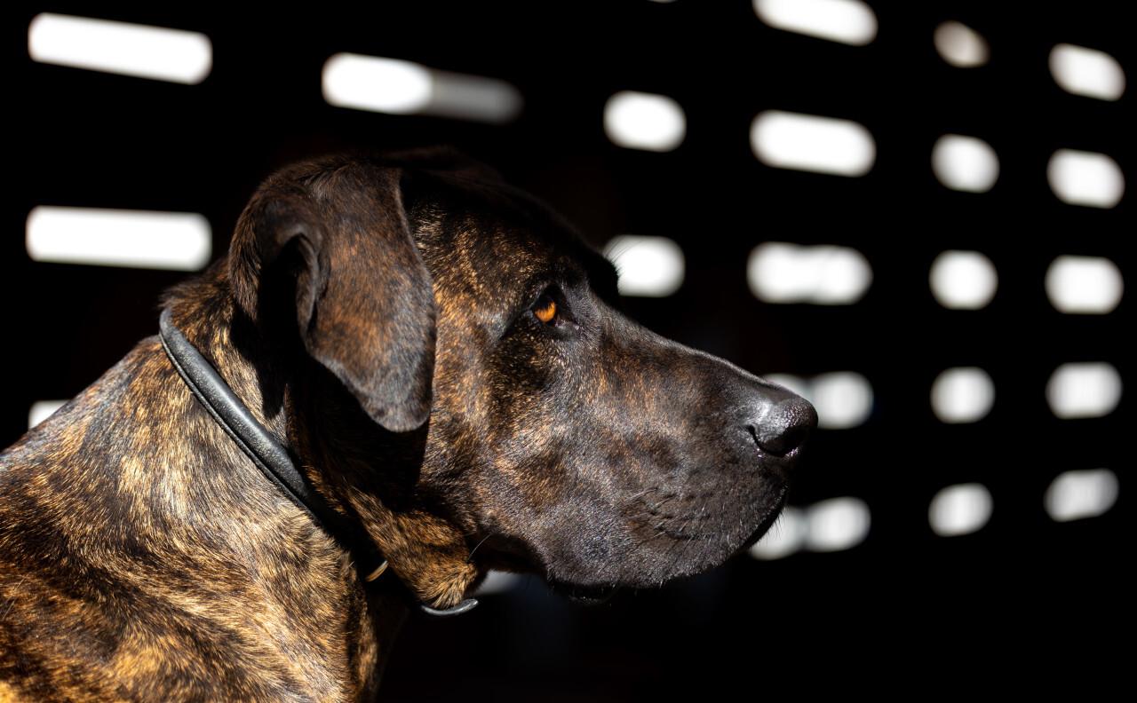 Dark Dog Portrait