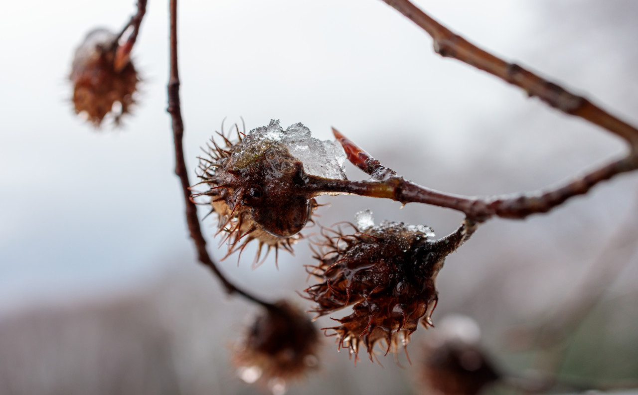 Thawing snow on the shells of beechnuts in winter