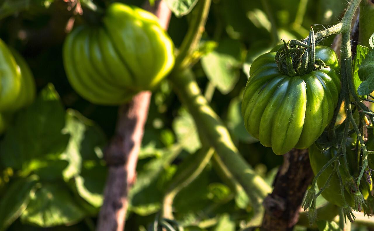 striped cavern tomato green and unripe