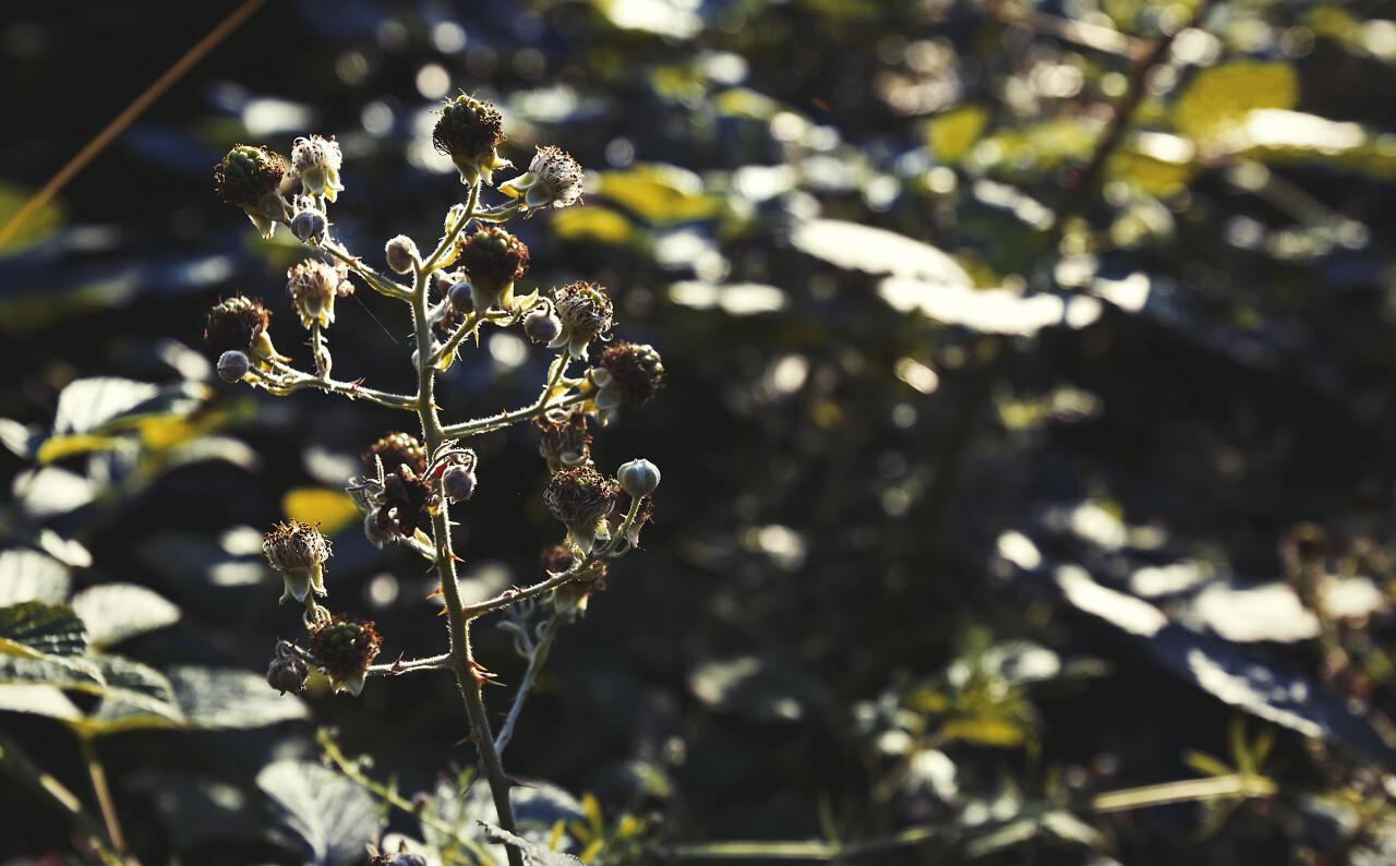 blackberries unripe