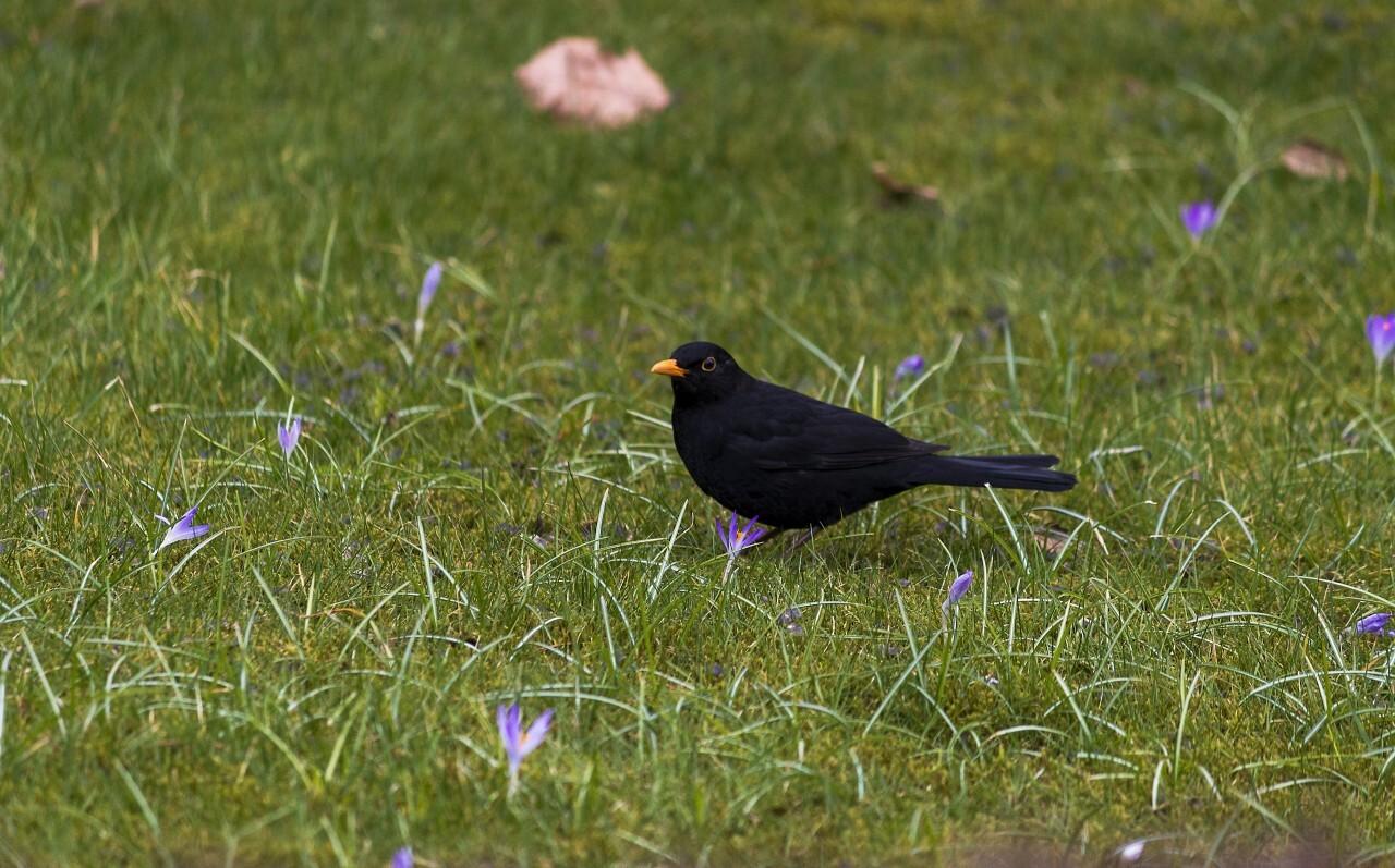 blackbird on meadow