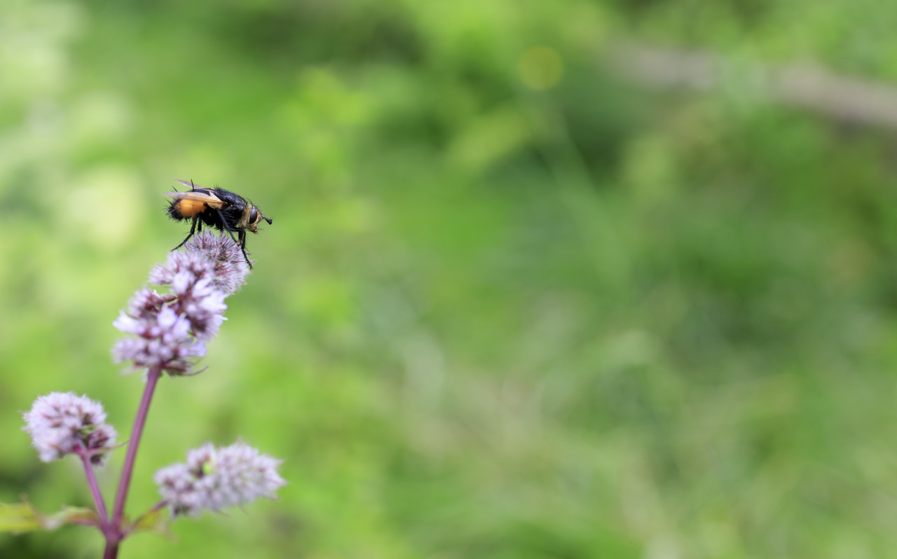 Tachinid fly on a flower of a peppermint