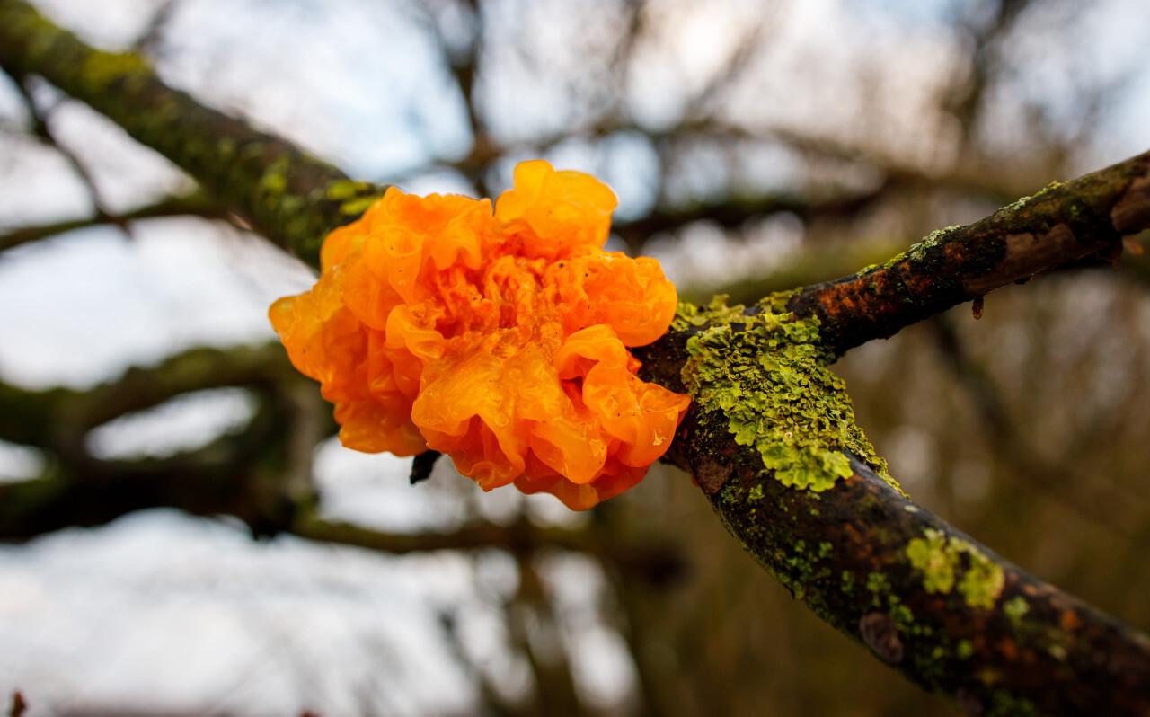 dacryopinax spathularia fungi on a tree
