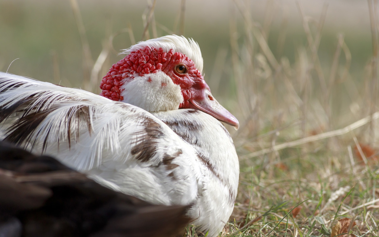 Muscovy duck in the grass on a organic farm