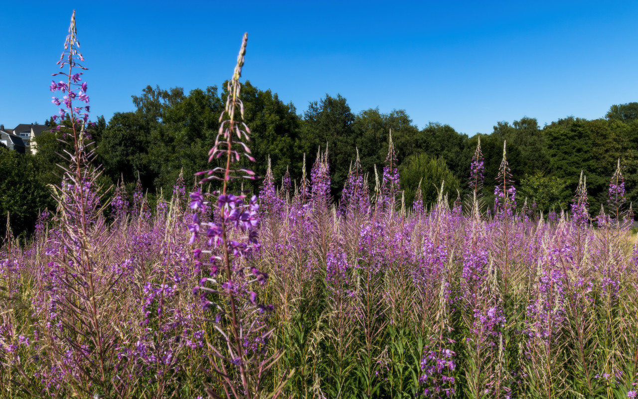 purple fireweed field