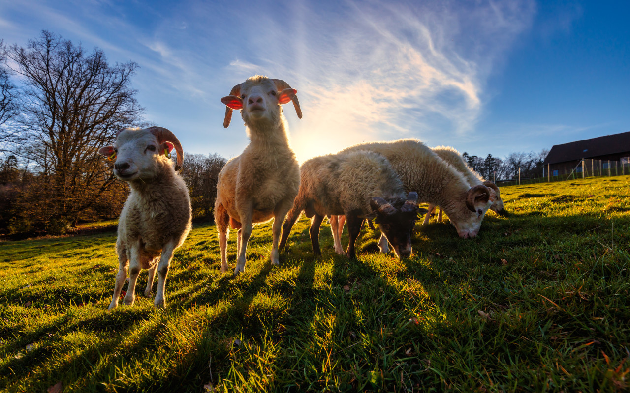Herd of sheep on a meadow by sunset