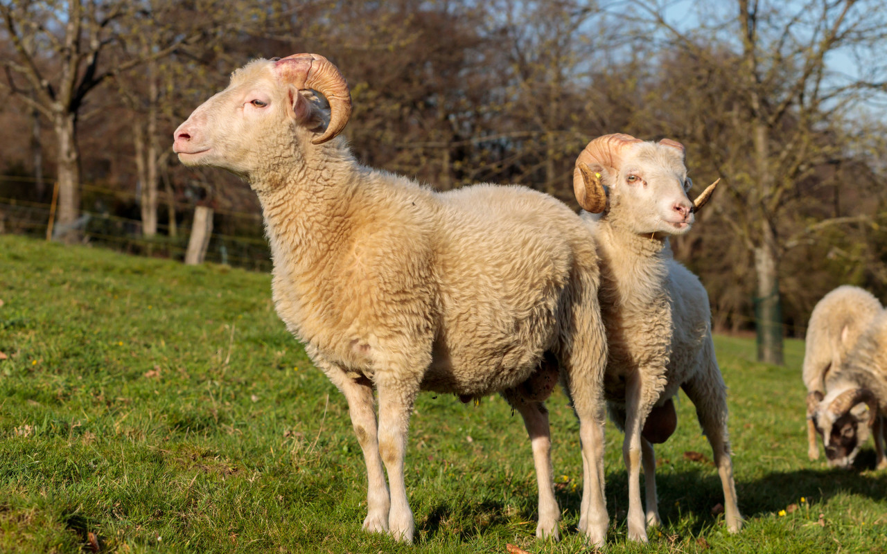 Two particularly beautiful sheep with magnificent horns stand in the pasture