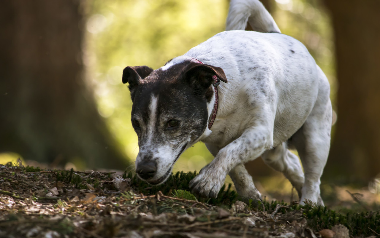 jack russell terrier in a forest