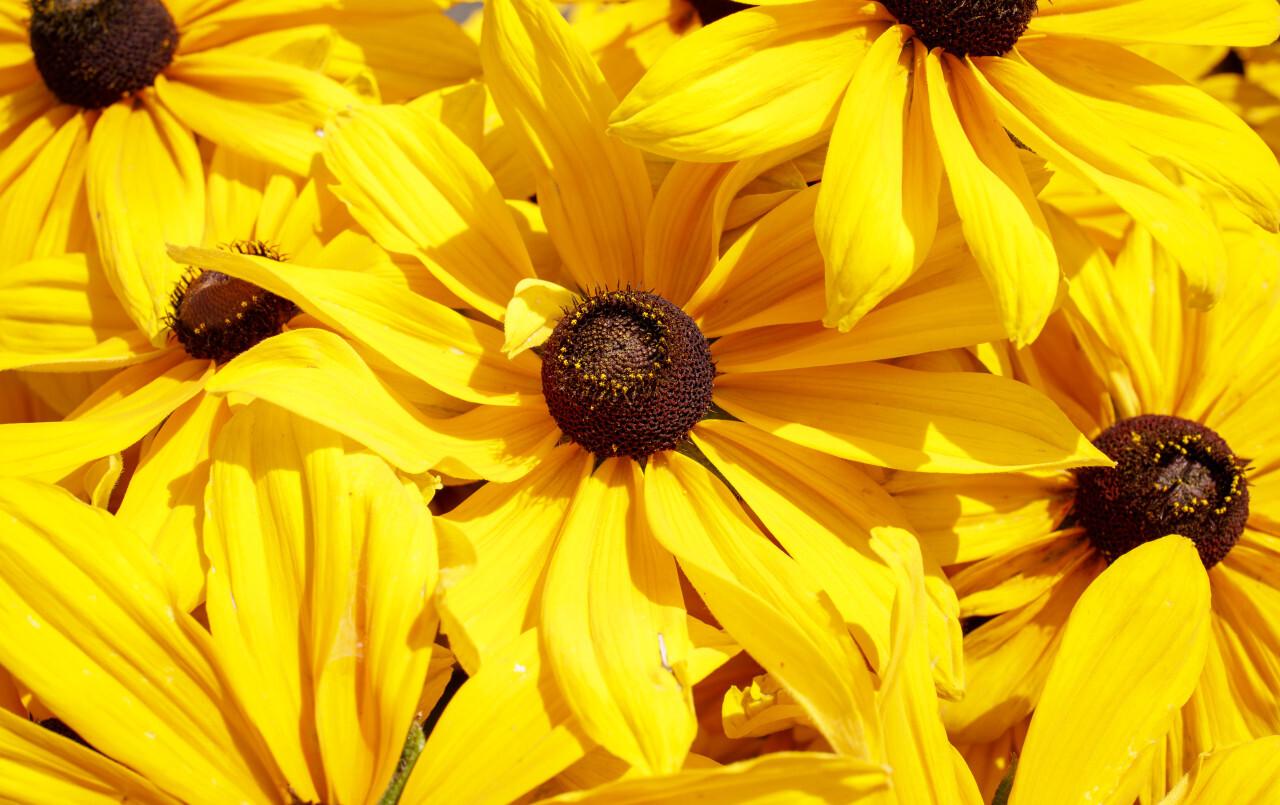 Yellow Rudbeckia background