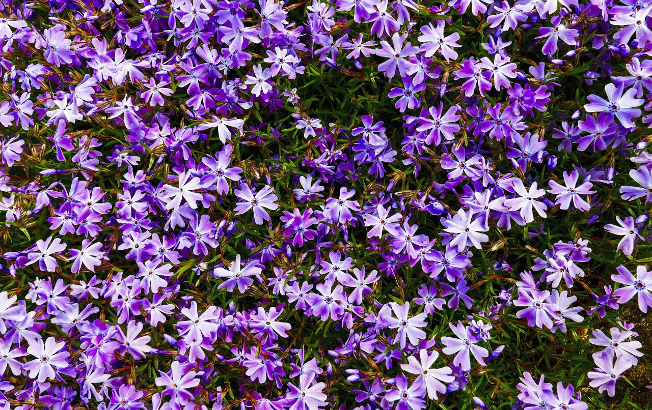 purple sea of flowers