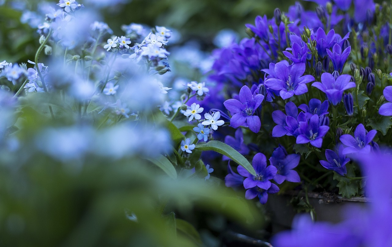bluebells and forget me nots flowers