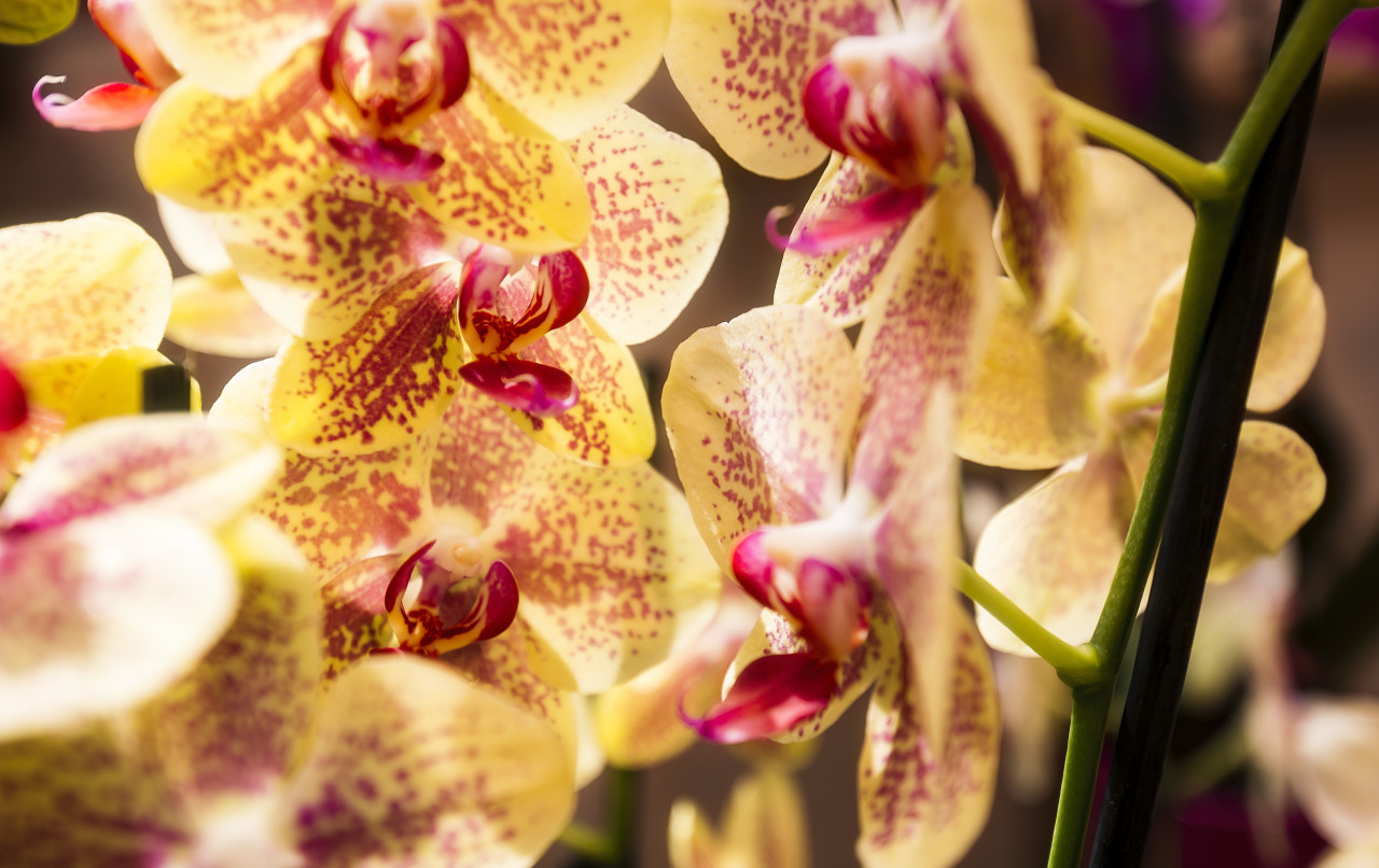 yellow pink orchids