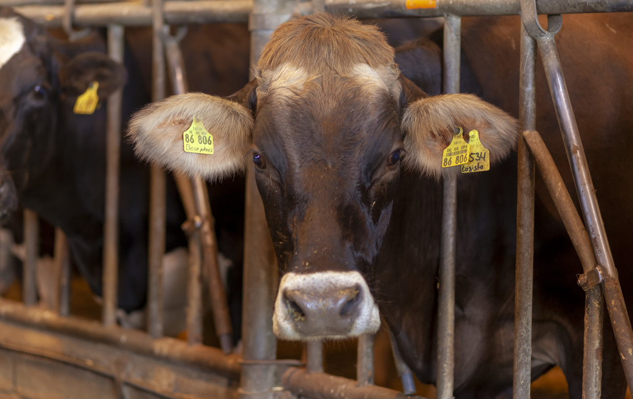 cows on a german farm in a stable