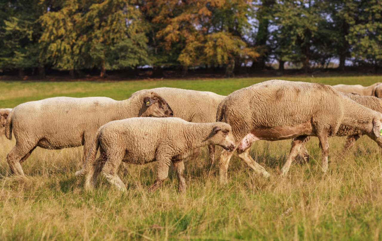 A large flock of sheep is driven from the pastures into the stables
