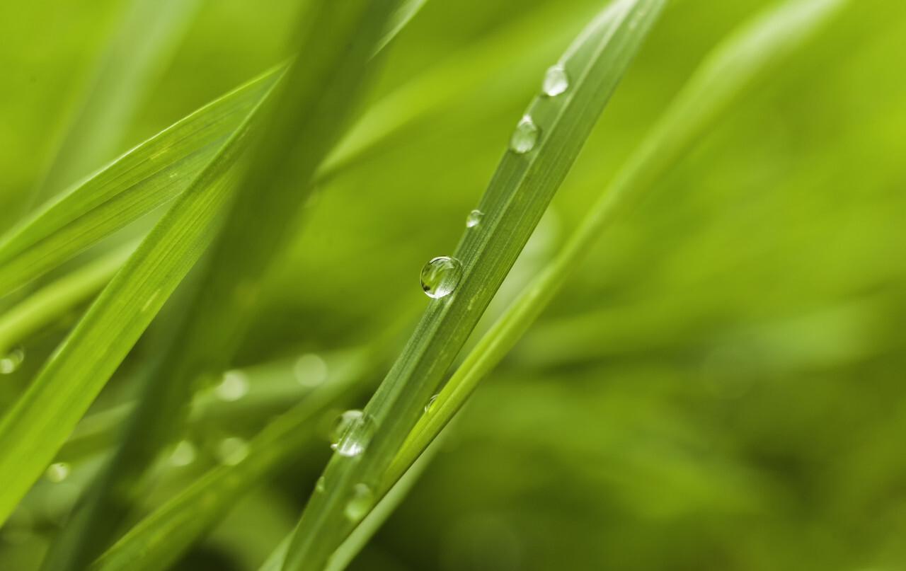 dew drops on grass springtime