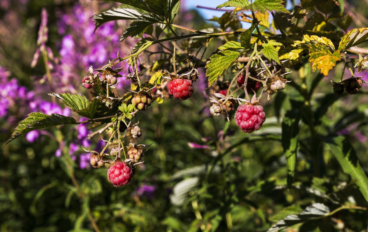 beautiful ripe raspberries