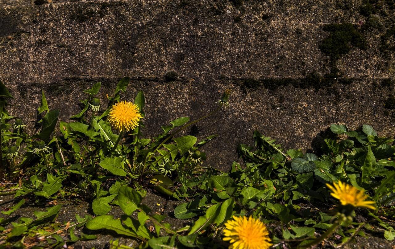 dandelion wallflower