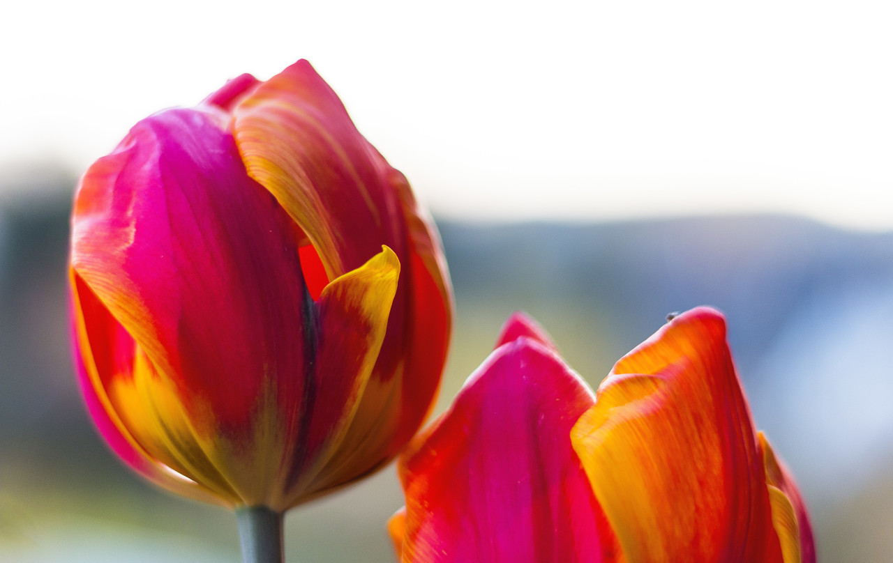 two red orange tulips with pretty bokeh
