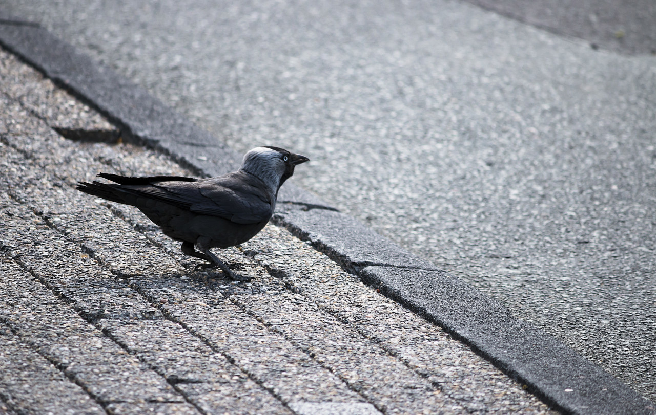 jackdaw on sidewalk