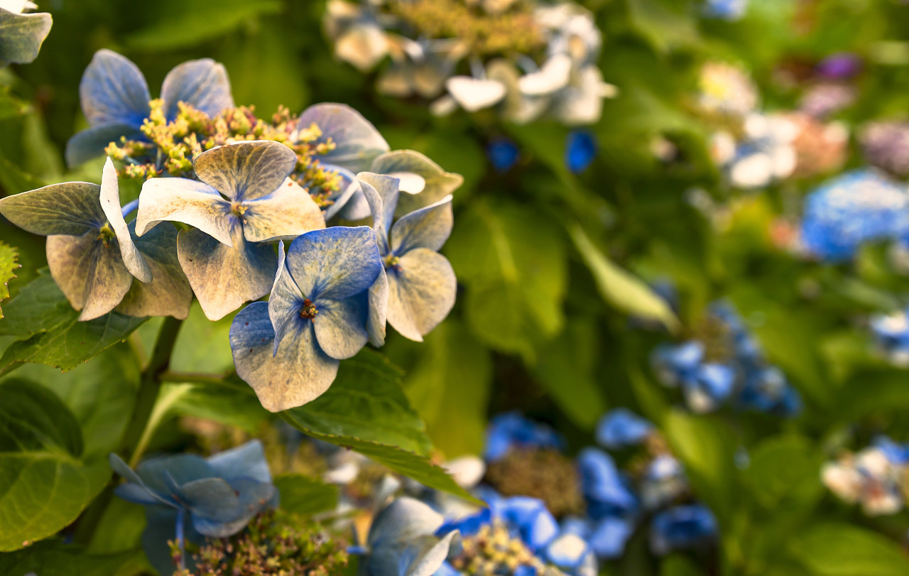 blue hydrangea or hortensia in the summer