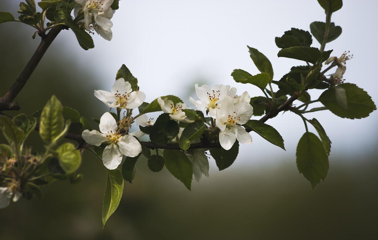 white appletree blossom flower