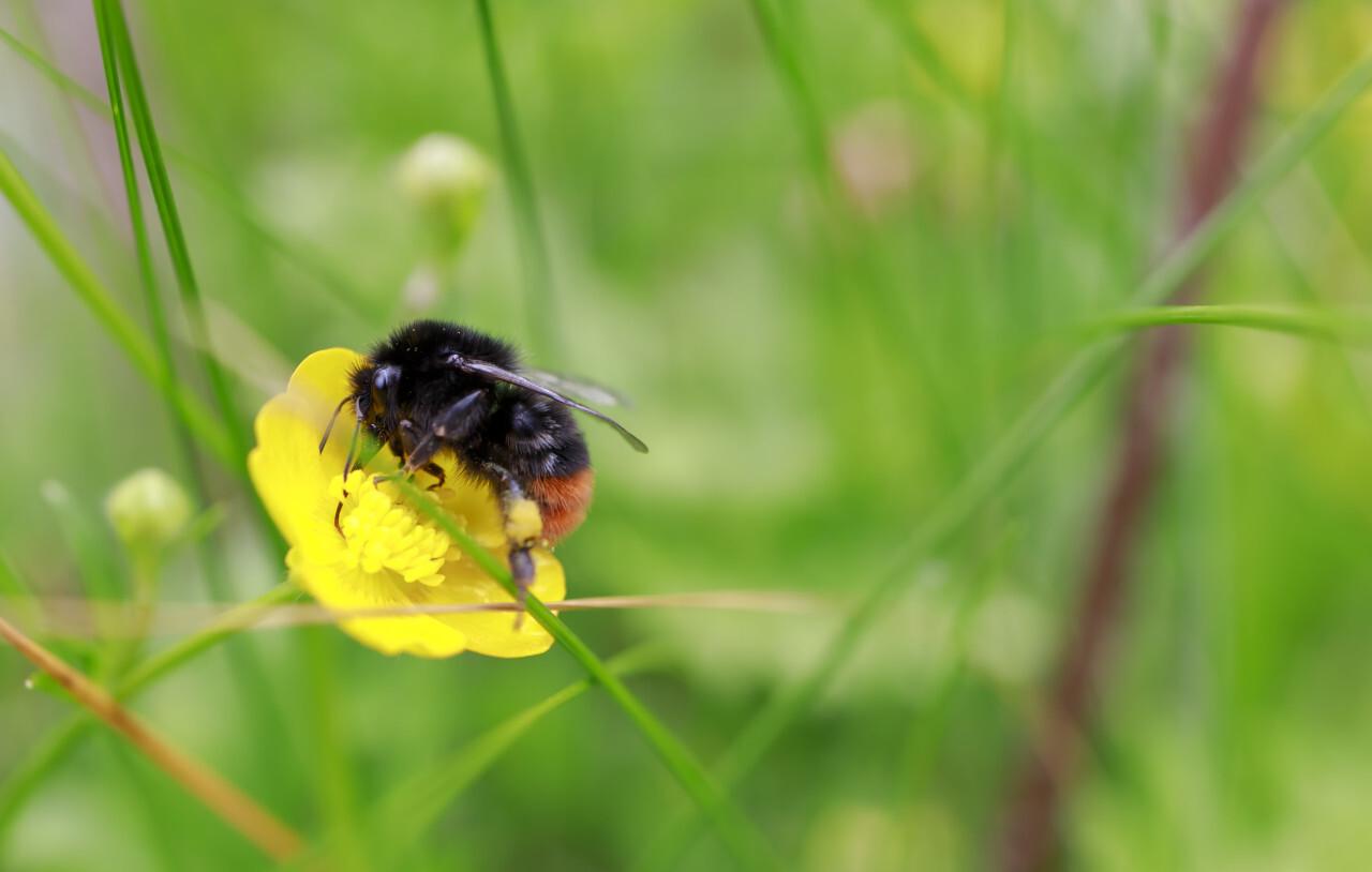 Bulbous Buttercup with a bee on it (Ranunculus bulbosus)
