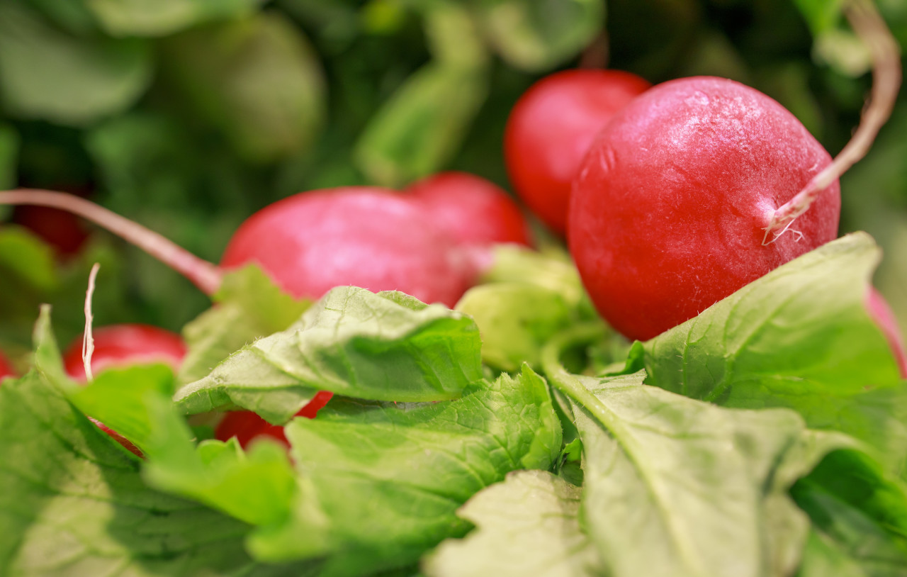 red radish from the market