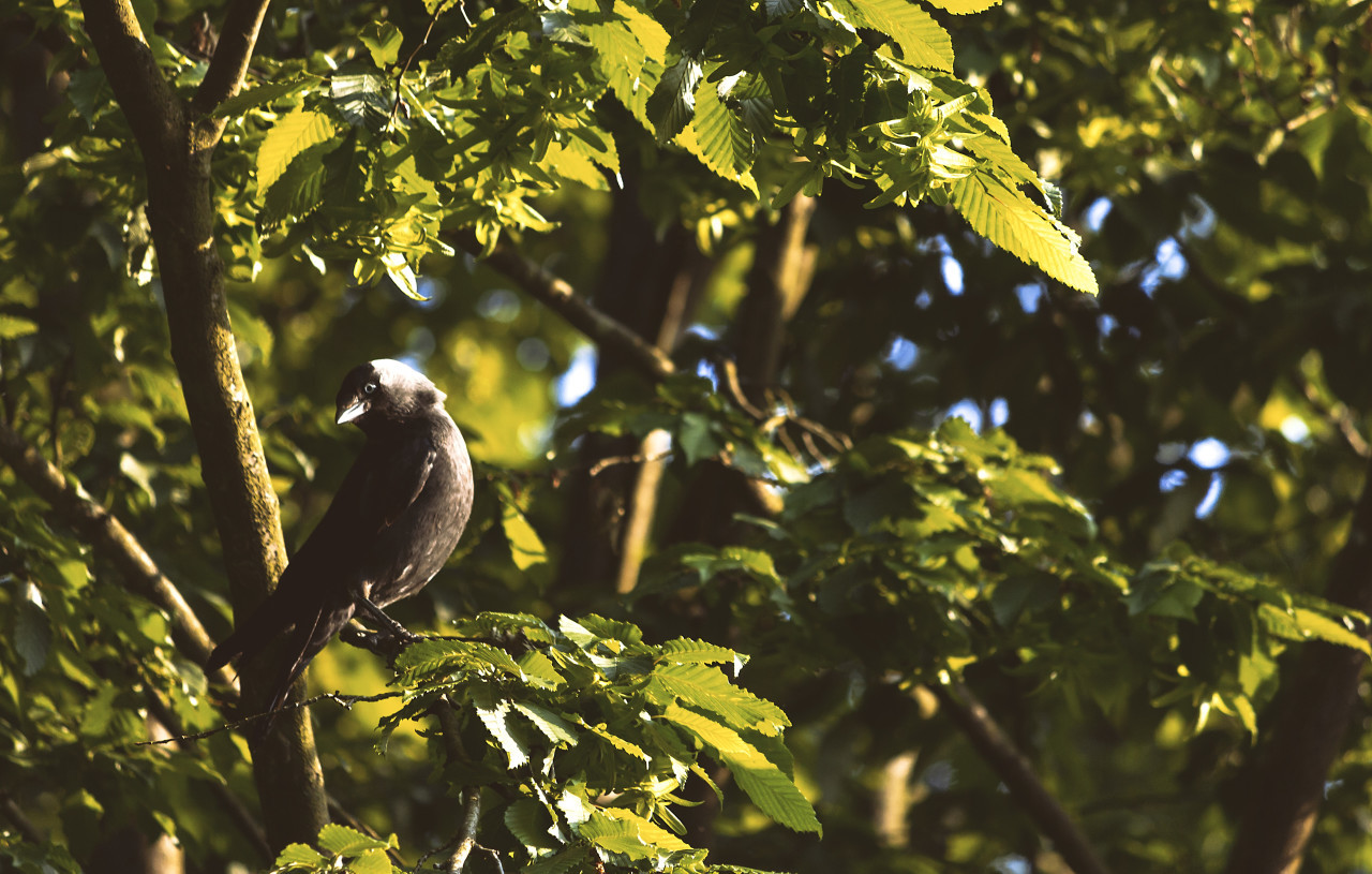 jackdaw in the tree