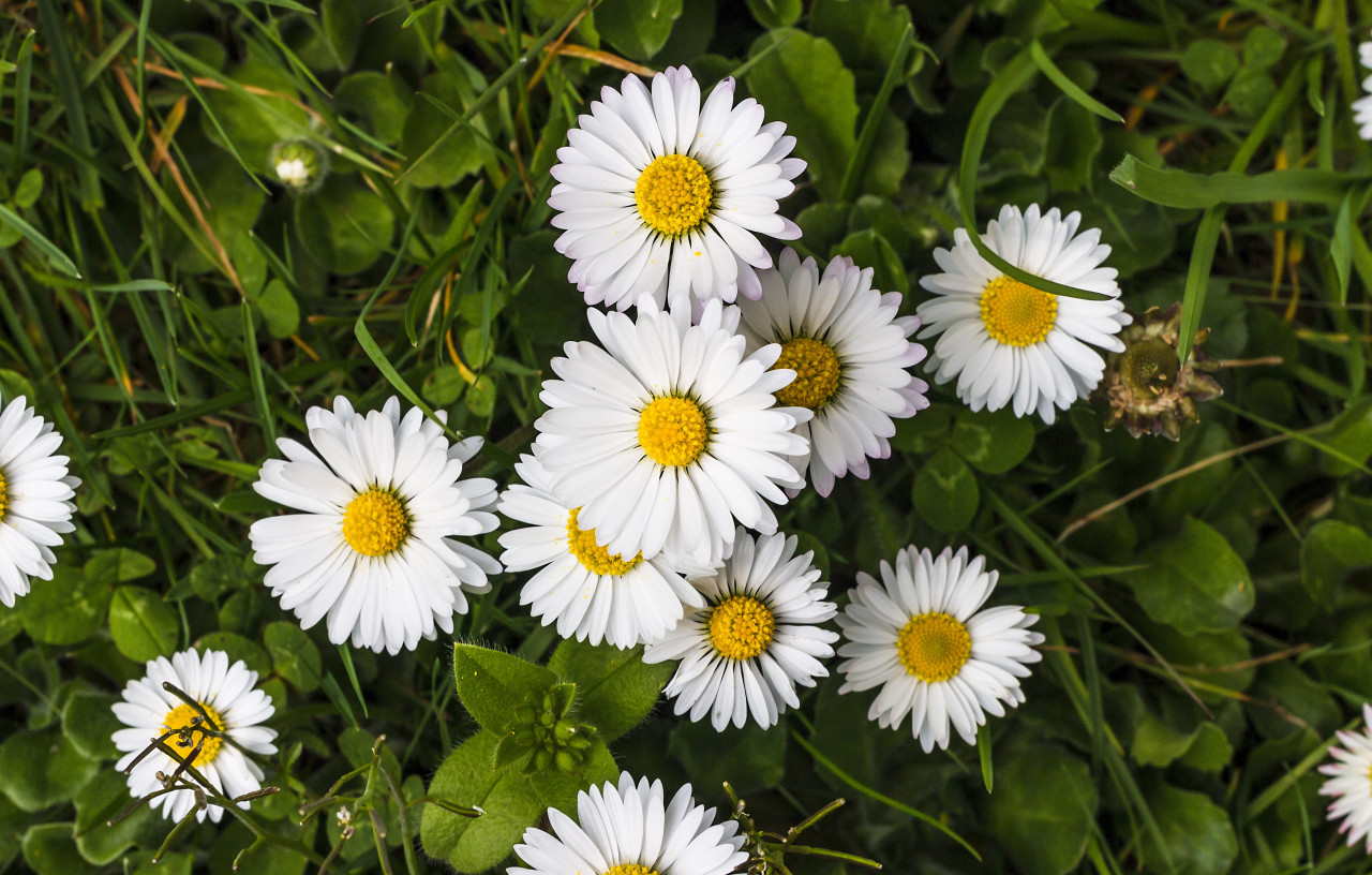 daisies from above