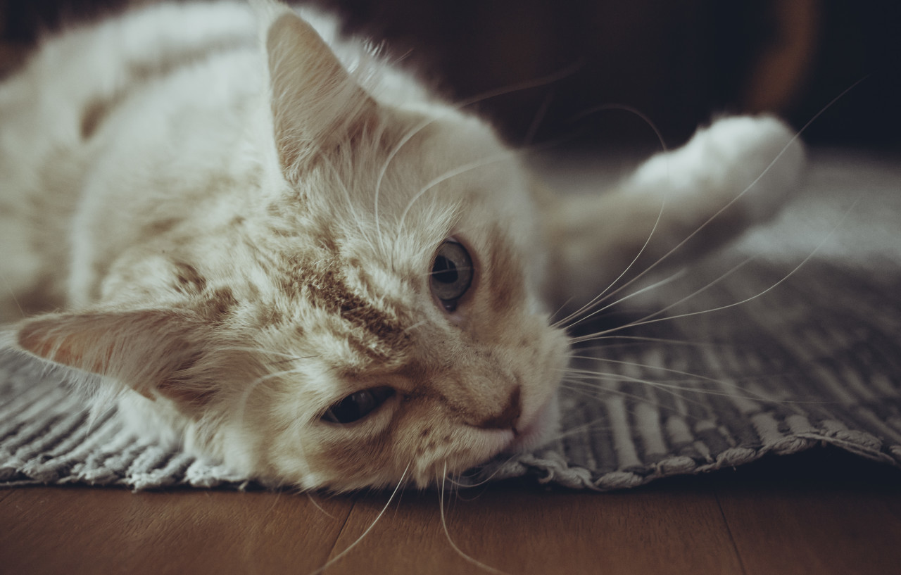 Maine Coon Cat lying on the floor