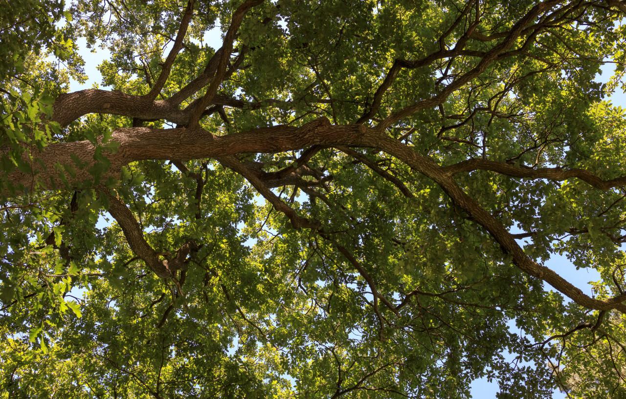 old oaks leafy treetop