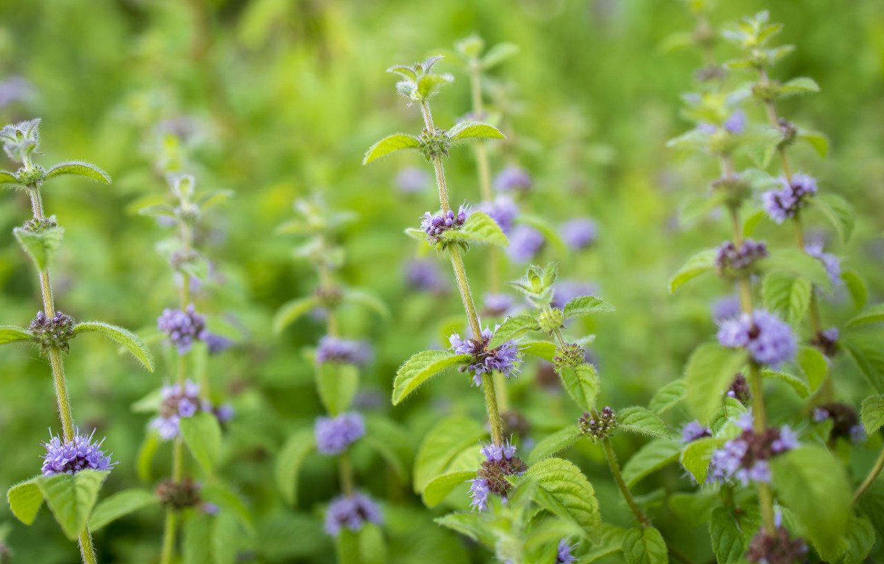 Mint plant blooms in July