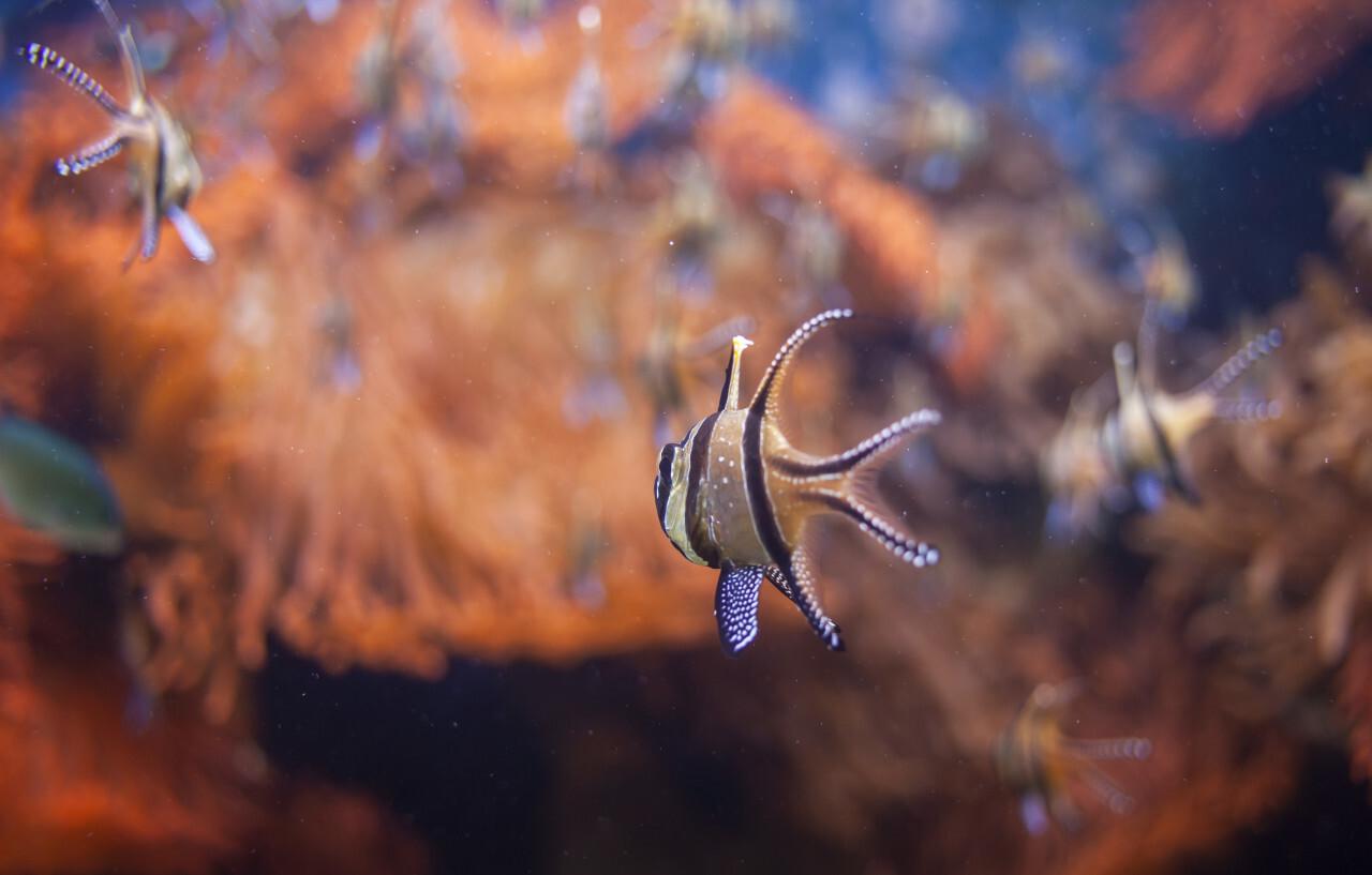 Banggai cardinalfish (Pterapogon kauderni)