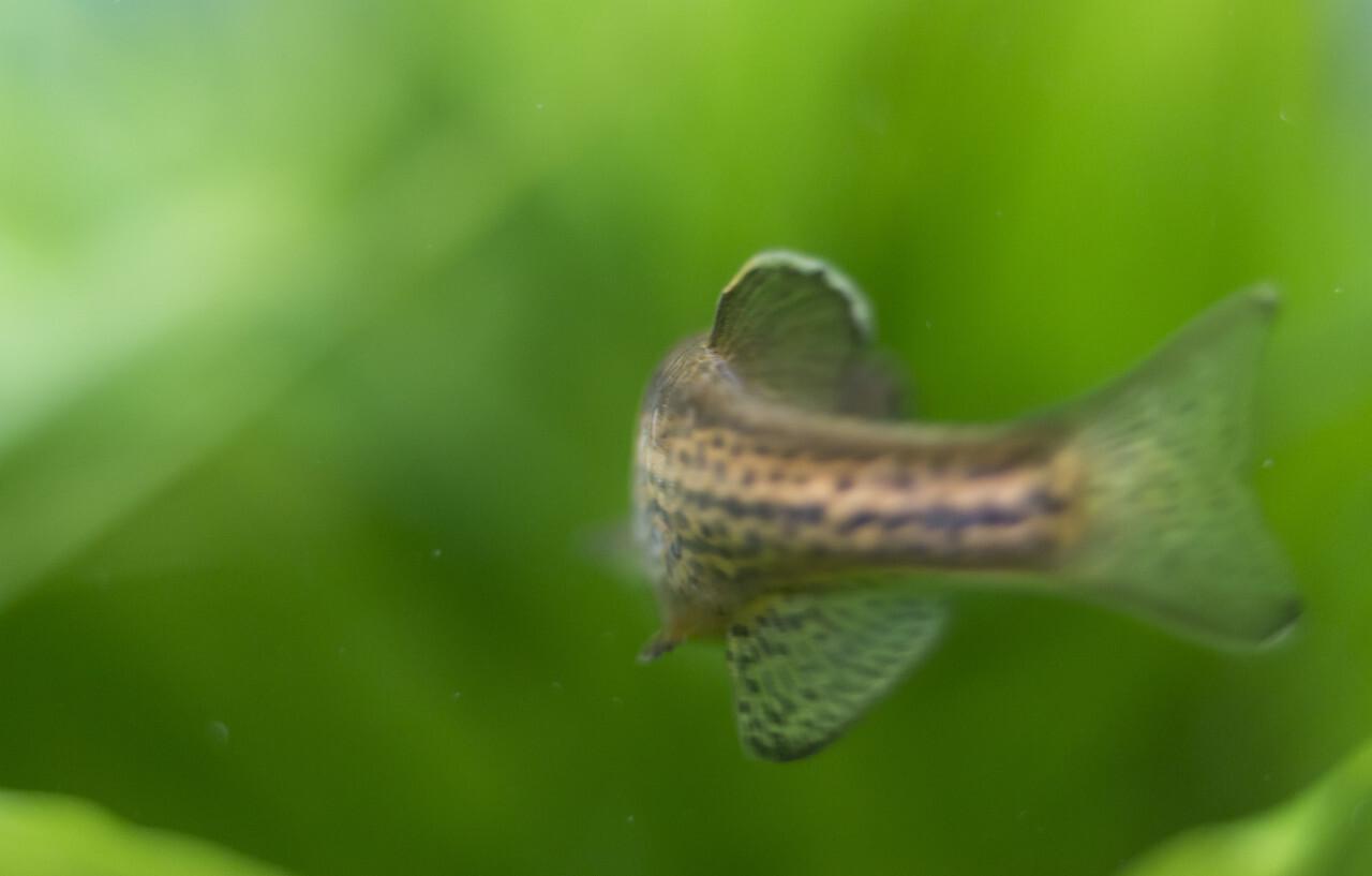 freshwater fish fin