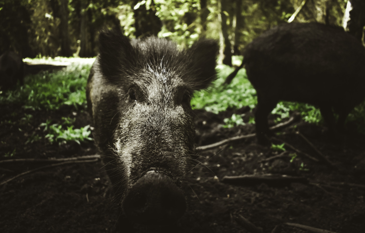wild sow portrait