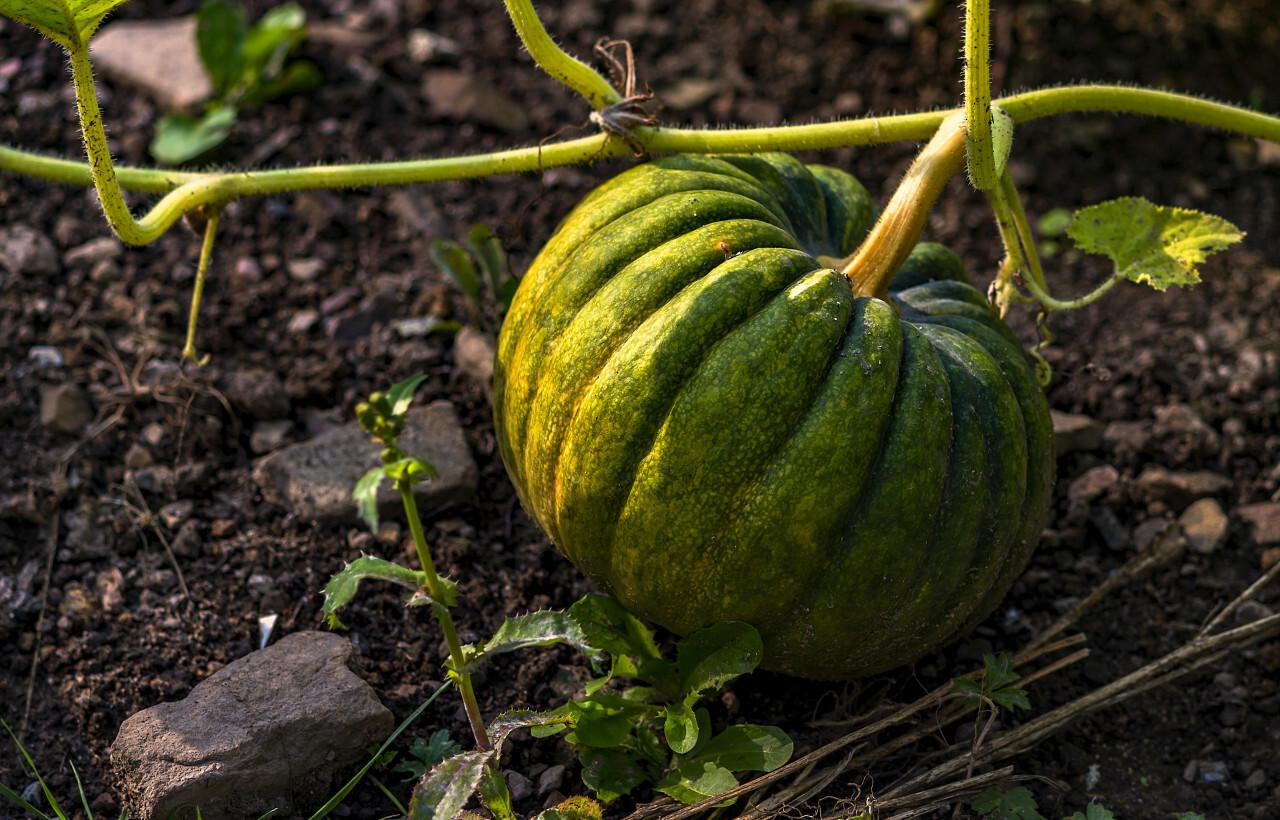 a green pumpkin is growing in a field