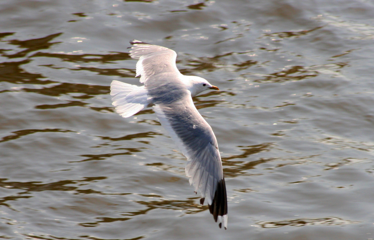 seagull flying over the water