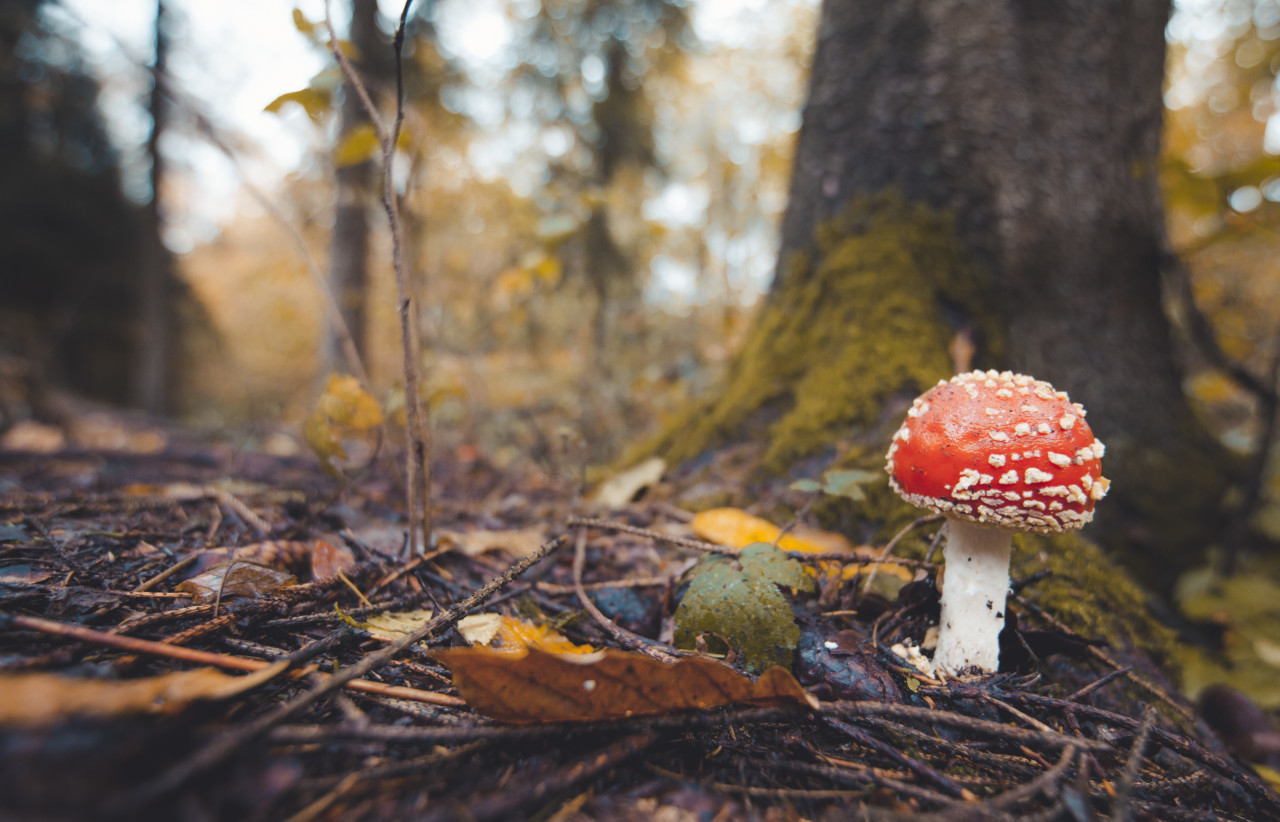 The Fly Amanita Mushroom in a Forest