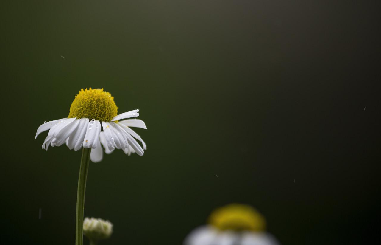 chamomile in rain