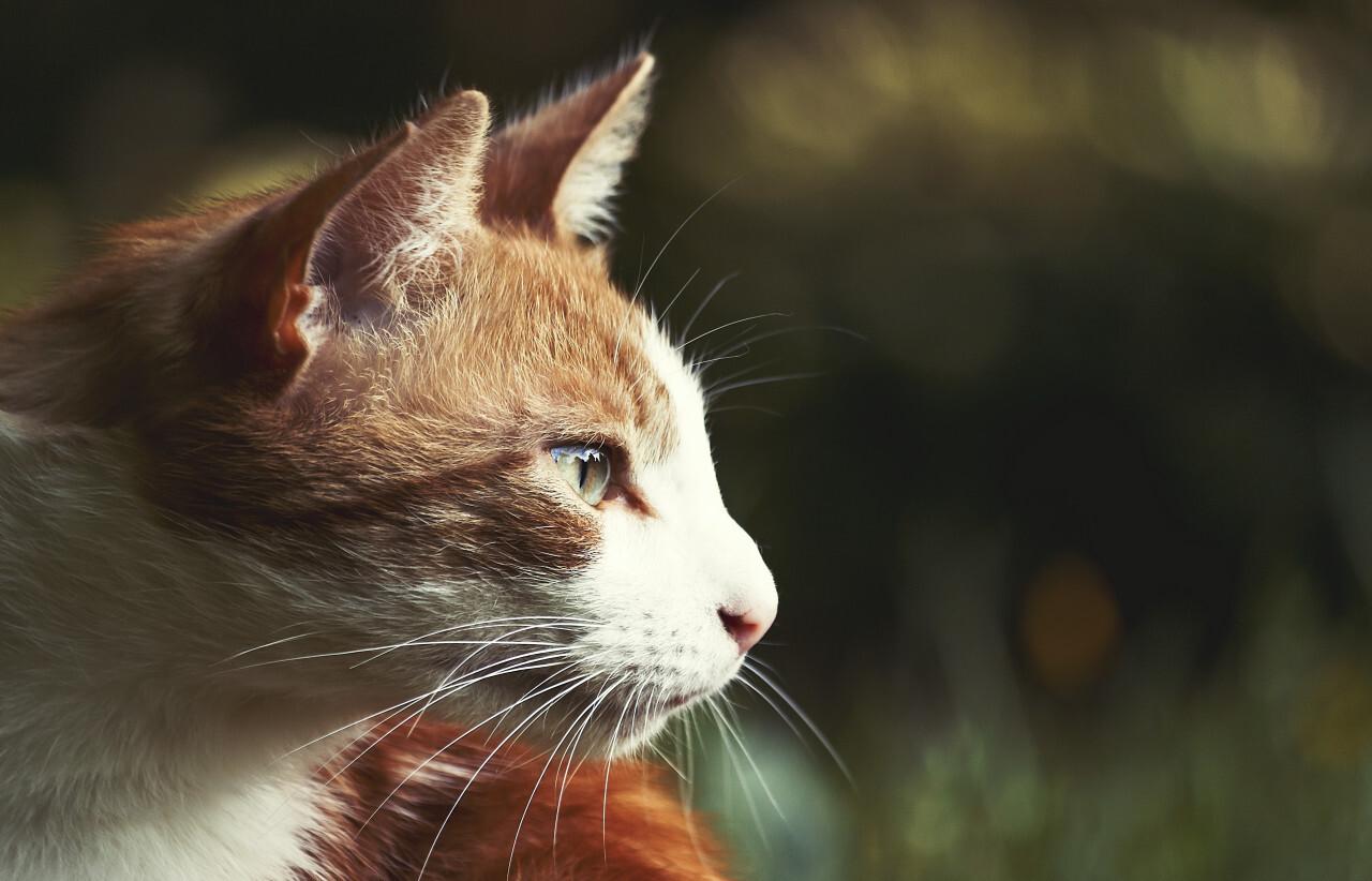 red cat profile