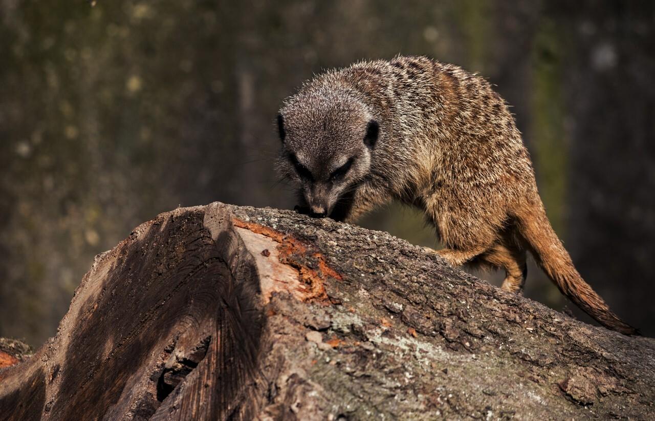 meerkat sniffs on a tree trunk