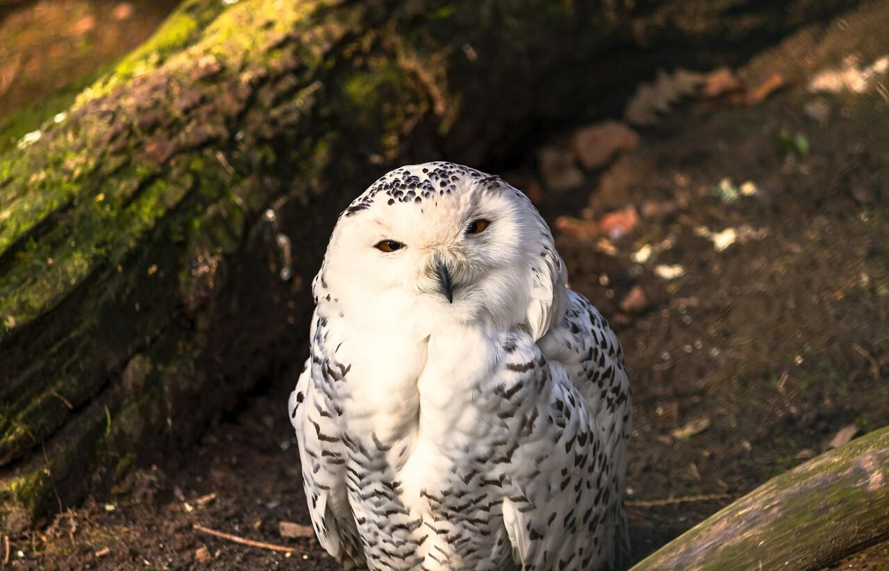 beautiful white snow owl portrait