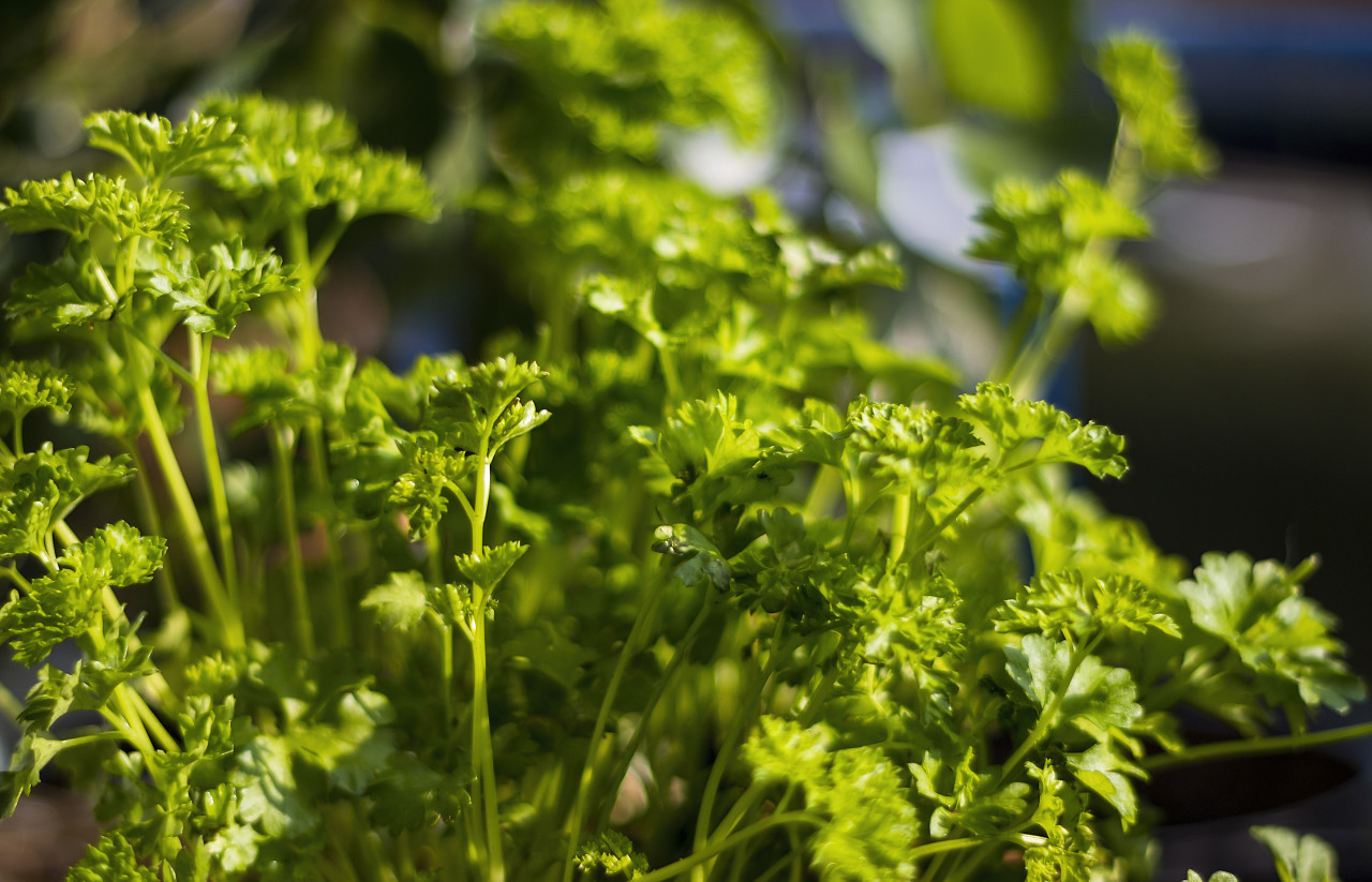parsley herb in sunshine