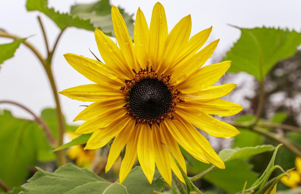 Yellow Sunflower in the Rain