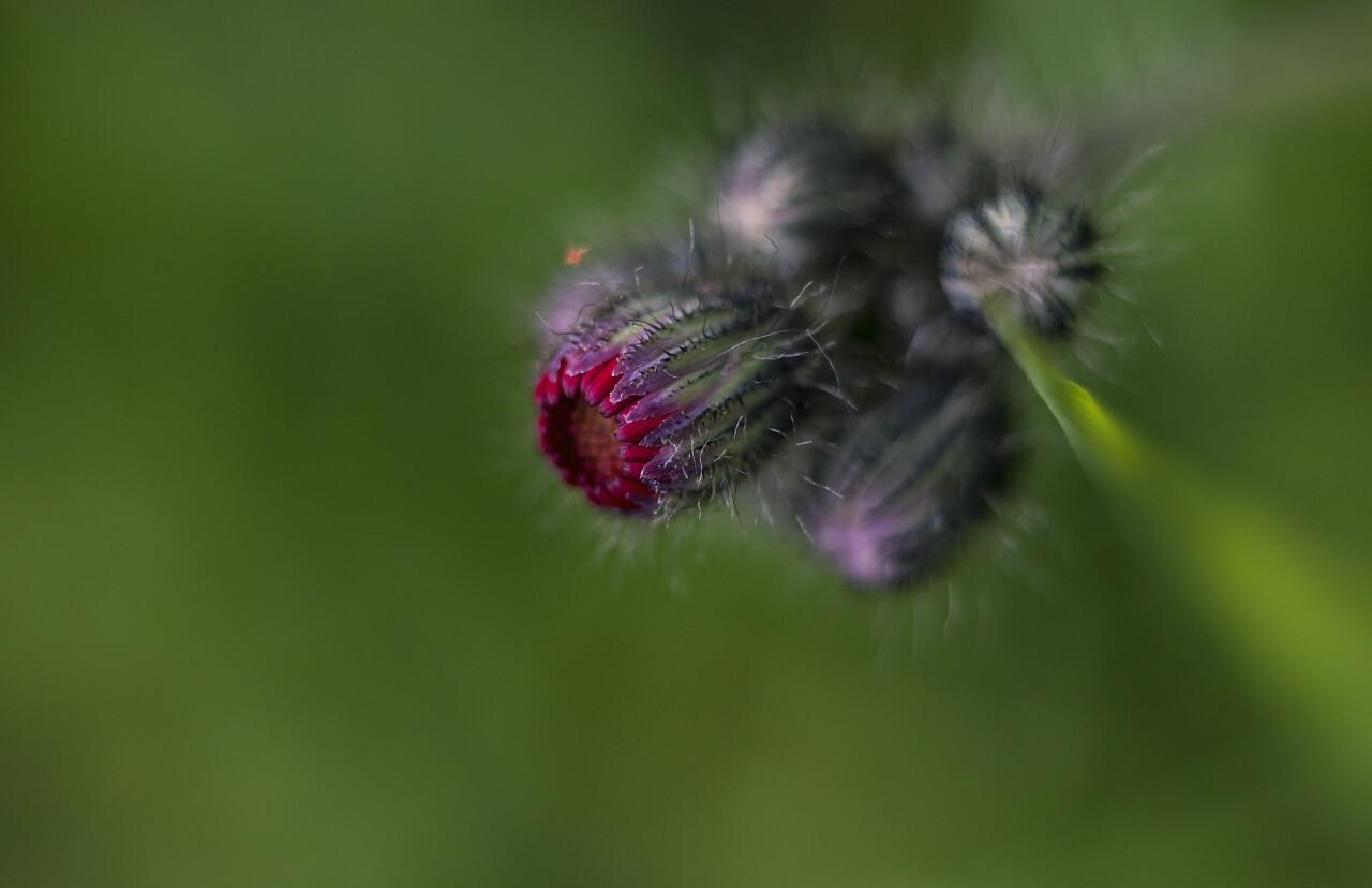 Hieracium aurantiacum - Isolated Flower Cluster