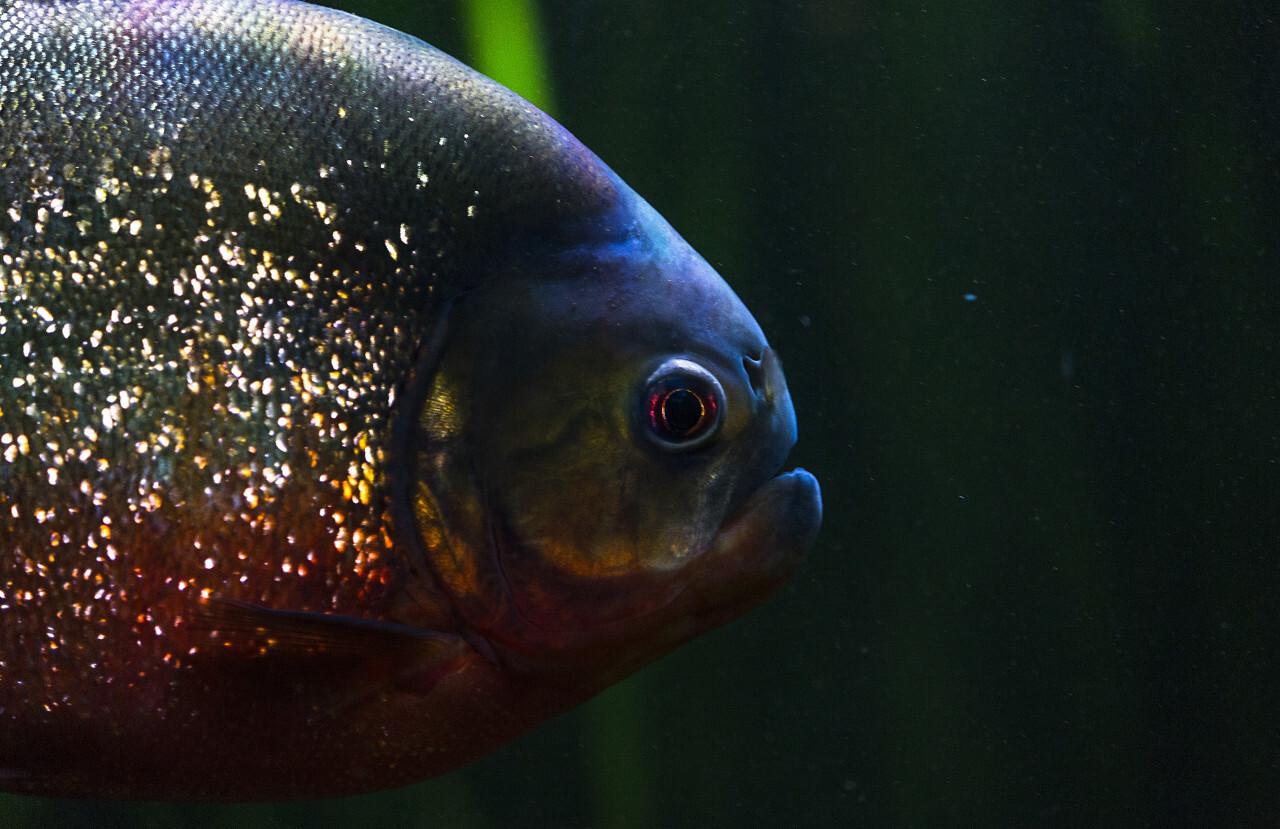 Red-bellied piranha, Pygocentrus altus