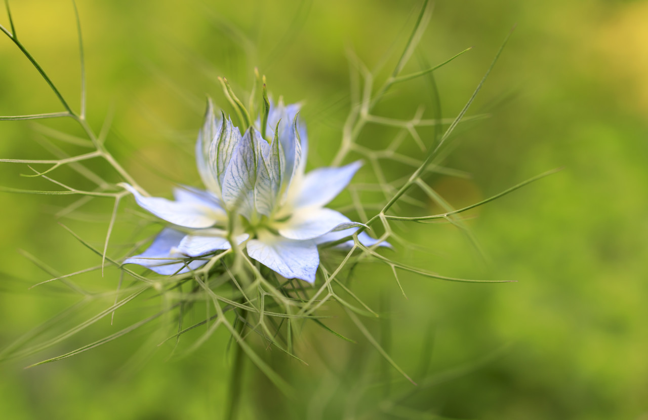 Nigella damascena, wild fennel